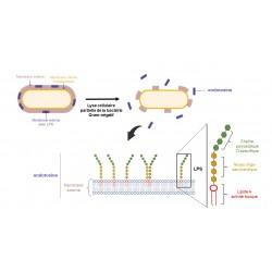 Les endotoxines bactériennes